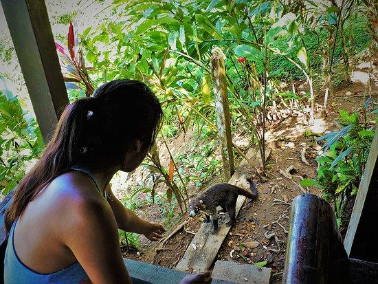 Гольфито, Коста-Рика: Friendly coati