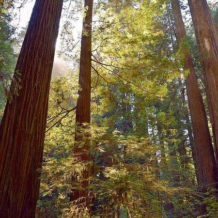 Redwood National Park: Beautiful sun shinning through the Redwoods.