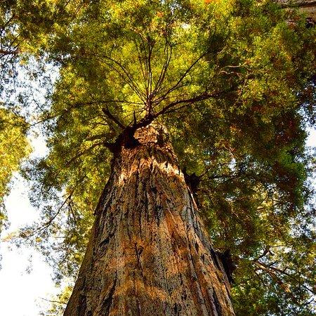 Redwood National Park: Giant beauty's.