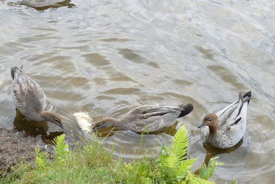 Wentworth Falls, Australia: There are lots of varieties of ducks at the Lake
