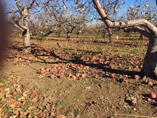 Leominster, MA: Lots of apples on ground at Sholan farms after picking season has ended.