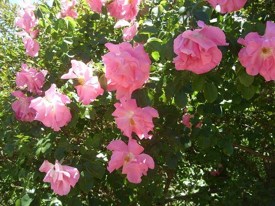 Sutton, Australie : Pink roses