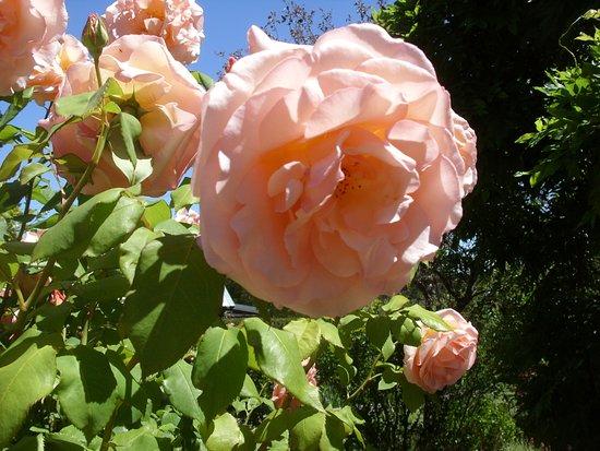 Sutton, Australia: Peach roses