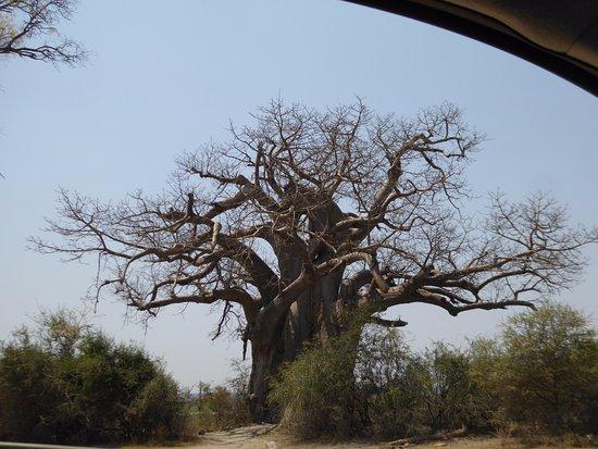 Caprivi Region, Namibia: back bab tree