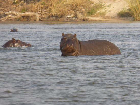 Caprivi Region, Namibië: hippopotamus on sunset river cruise on the okavango river