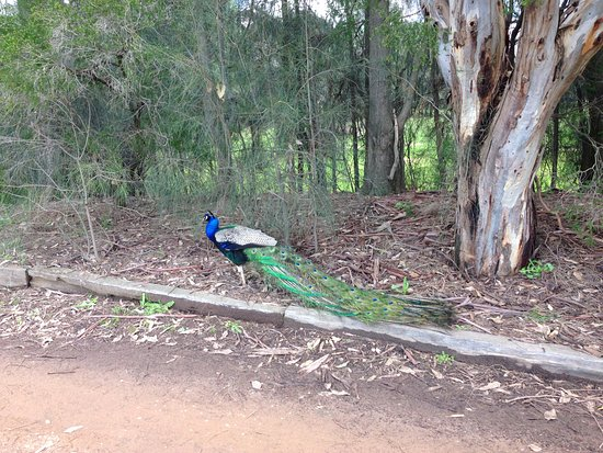 Dubbo, Australia: beautiful peacock