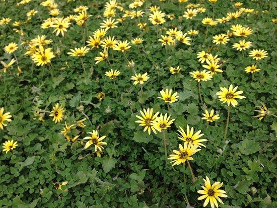 Dubbo, Australia: daisies