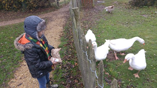 Bursledon, UK: feeding the geese