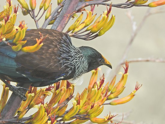 Punga Cove Resort: A tui enjoying the NZ flax by our balcony