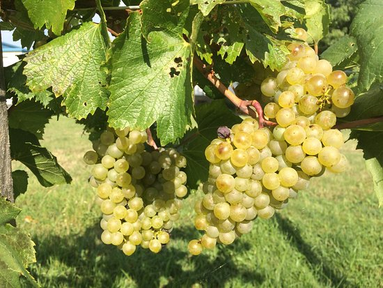 Marblehead, OH: Our Grapes