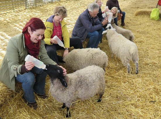 King s Lynn, UK: Big kids feeding big lambs!