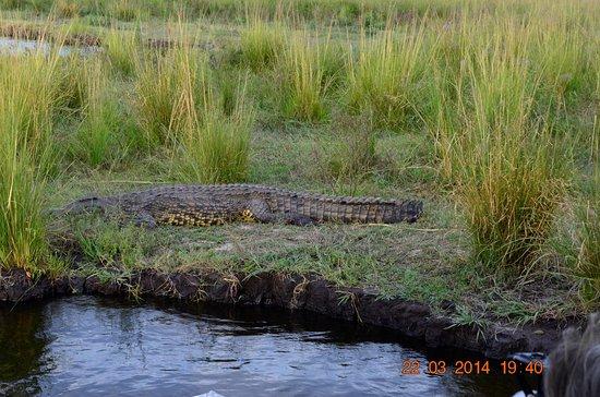 Chobe Safari Lodge : крокодил