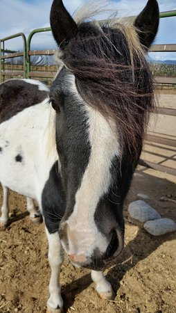 Nathrop, CO: A child's pony at the nearby riding stables, friendly and hoping for a snack.