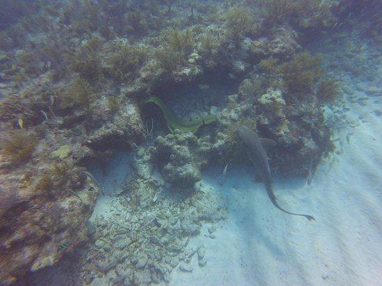Tavernier, FL: Nurse Shark and Moray Eel
