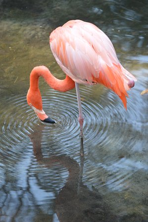 Homosassa Springs, FL: My daughter loved the flamingos. It was on her must see in FL list.