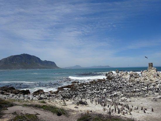 Betty's Bay, Republika Południowej Afryki: Penguins at Stony Point