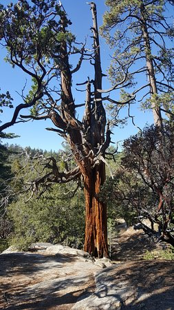 Idyllwild Nature Center: No bark on this tree