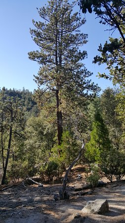 Idyllwild Nature Center: Silver pine