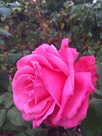Municipal Rose Garden San Jose Ca Beautiful Pink Rose Picture