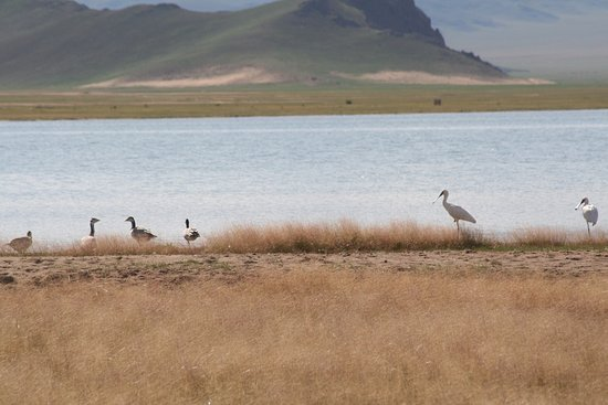 Zavkhan Province, Mongoliet: Spoon bills, bar headed geese, Black Lake, Zavkhan, Western Mongolia