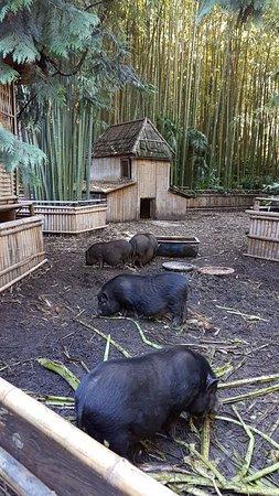 Generargues, France: Les cochons noirs