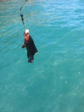 Magnetic Island, Avustralya: Coral Reef Cod