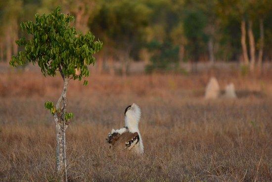 Atherton, Australia: bustards