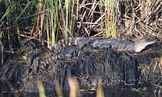 Hardeeville, SC: Young Gators.