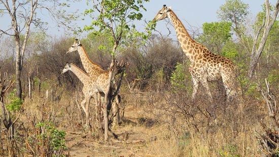 Bomani Tented Lodge: anche giraffe..