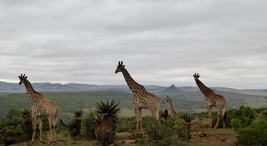 Rorke's Drift, Zuid-Afrika: Walking with giraffe
