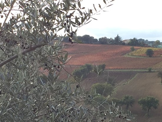 Wine Link Italy: Fields of red grapevines in the fall