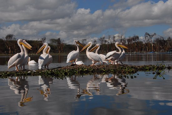 Hoedspruit, South Africa: Pelican on lake