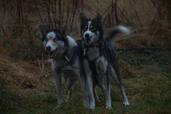 Troms, Norway: 2 Huskys