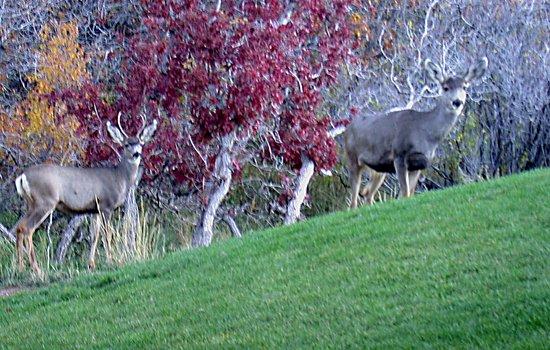 Monticello, Utah: Mulies