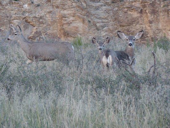 Mule deer traveling into Sitting Bull Falls area