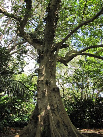 Davie, FL: An another large tree at the gardens