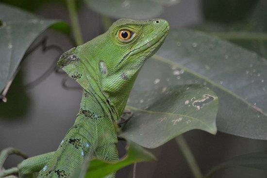 Cahuita, Costa Rica: Lizzard