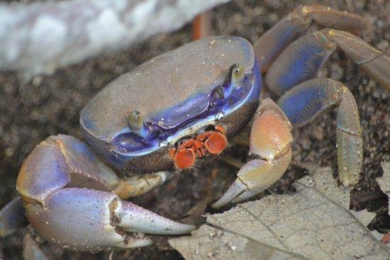 Cahuita, Costa Rica: Colourfull Crab