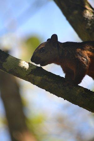 Tortuguero, Costa Rica: Squirrel