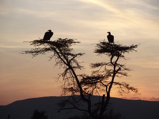 Kicheche Valley Camp: Our first Sunset, Vultures coming to roost for the night.