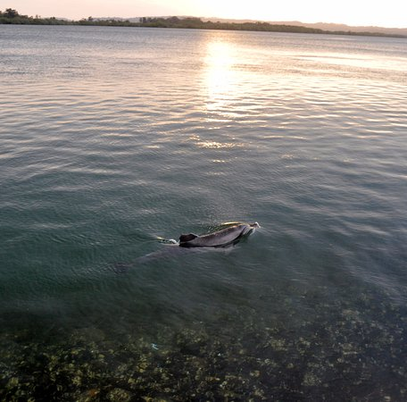 Ballina, ออสเตรเลีย: Dolphins and turtles close to shore along the Boardwalk