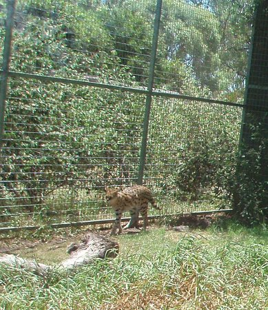 Gatton, Australia: Serval - African sub-Sahara cat