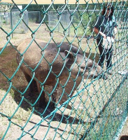 Gatton, Australia: Tapir - South American native