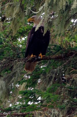 If you are lucky while in Massett you may find yourself looking at Bald Headed Eagles - many of