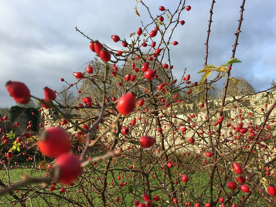 Jervaulx, UK: Rose hips within the abbey grounds.