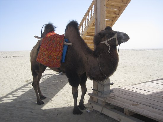 Kashi, China: Taklamakan Desert. Our camels were ready for us to travel in the famous desert.