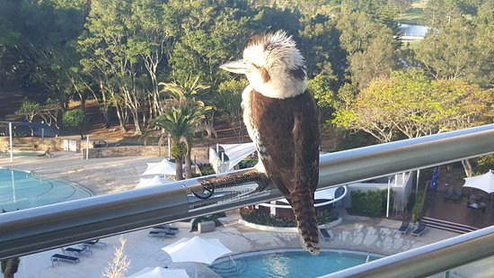 Benowa, Australia: The curious kookaburra ... he stayed for ages!!