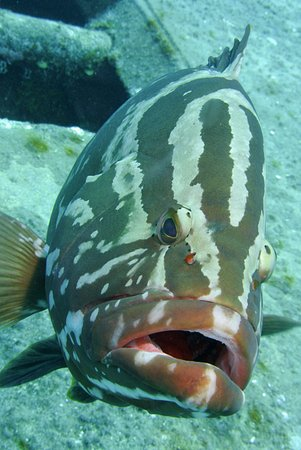 Wall to Wall Diving: Giant grouper seems happy