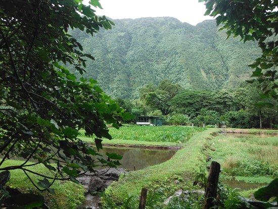Honokaa, HI: Taro Field in Waipi'o Valley
