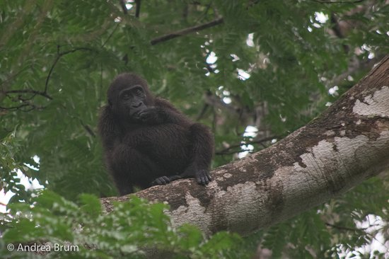 young gorilla in Loango National Park - Picture of Campement